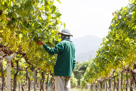 grape field: Worker working at vineyard or grape field