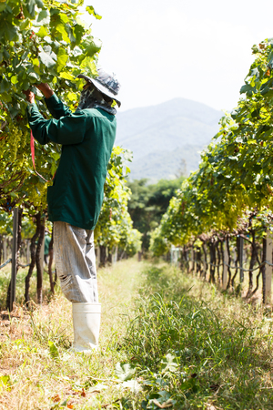 grape field: Worker work in vineyard or grape field on daytime Stock Photo