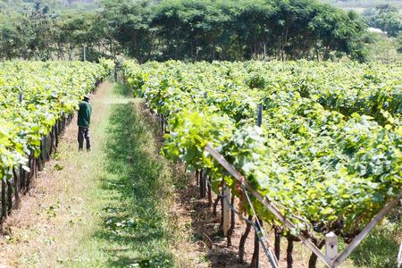 grape field: Worker work in vineyard or grape field on daytime-5