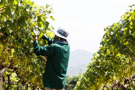grape field: Worker work in vineyard or grape field