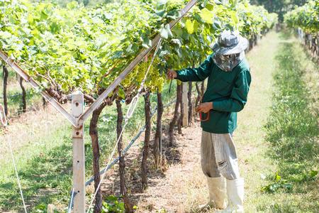 grape field: Worker work in vineyard or grape field on daytime-7