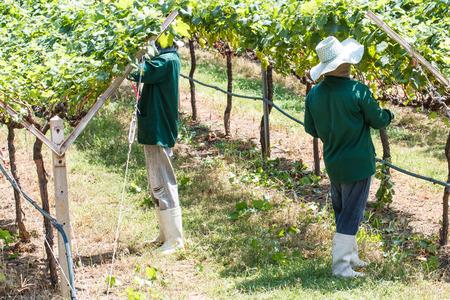 grape field: Worker work in vineyard or grape field on daytime-6
