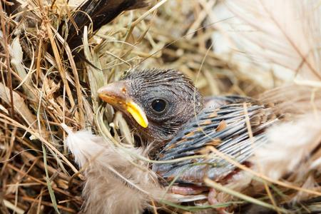 resting: Baby bird resting in nest