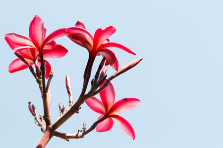 subtropical plants: Red Frangipani flower with sky background