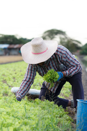 Farmer harvesting kale on the farm, farming is an agricultural industry in Thailand.
