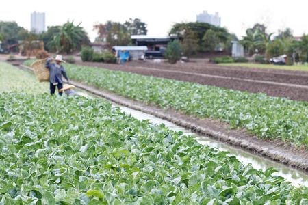 Kale on the farm with farmer harvesting in back, farming is an agricultural industry in Thailand.