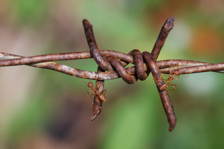 Macro photography of ants climbing on the barbed wire, the concept of trying to overcome the problems and obstacles