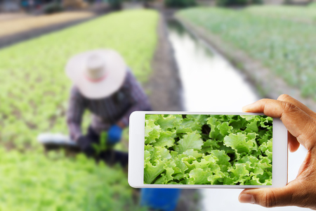 Farmers use a cell phone, photographed with white cabbage with farmer working blurred as the backdrop in vegetable plots, the concept of smart farm Standard-Bild
