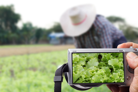Farmers use camera, photographed white cabbage with farmer working blurred as the backdrop in vegetable plots