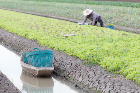 Small boat prepare for farmer harvesting kale on the farm field agricultural industry in Thailand. Stock Photo