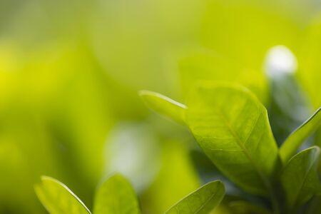 Baumblatthintergrund und -beschaffenheit, Selbstfokus mit Makrolinse. Standard-Bild