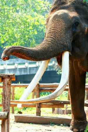 Thai elephant close-up