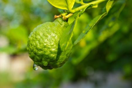rutaceae: Citrus for food  vittamin c  Stock Photo