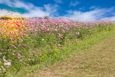 pink cosmos flowers on sky background Stock Photo