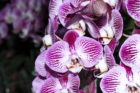 close-up Vanda Orchid Wanda - Queen of orchids, purple flower on a gray background