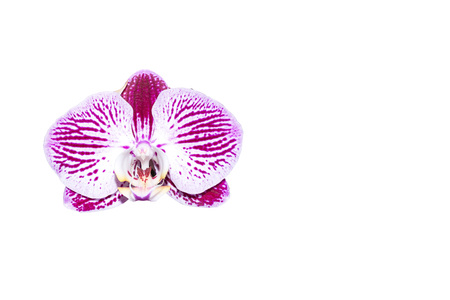 violet orchid isolated on white Background Stock Photo