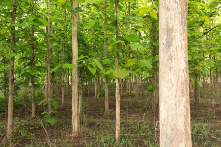 forest  teak Stok Fotoğraf