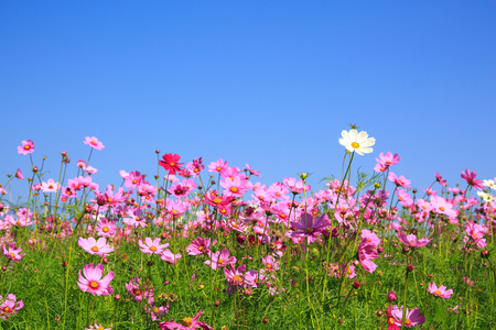 Cosmos purple flower on blue sky for love and valentine day