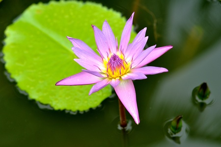hydrophyte: Pink water lily in the lake Stock Photo
