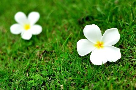 plumerias: A plumerias on the green grass