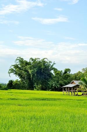 Rice field with farmhouse photo