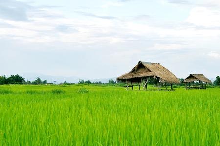 granjero: Campo de arroz con granja