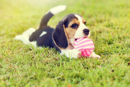 hounds: Little Beagle playing with ball in garden Stock Photo