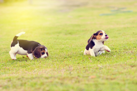 hounds: Little Beagles playing in garden