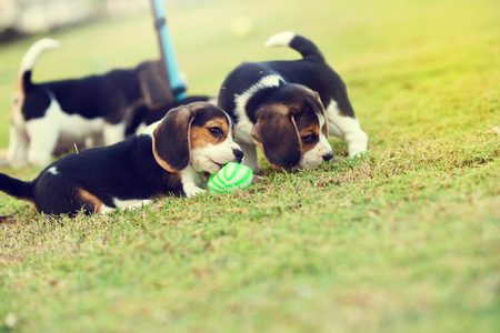 hounds: Little Beagles playing with ball in garden