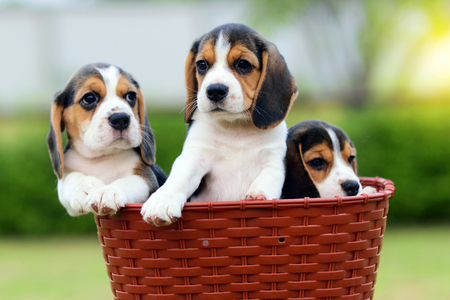 Cute little Beagles stay in basket Banque d'images