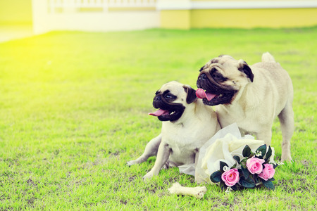 Two cute Pugs playing together in garden