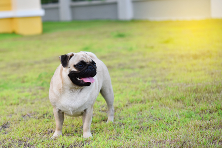 Cute young Pug stay alone in garden Banque d'images