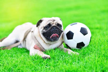 Cute brown Pug with football in garden 版權商用圖片