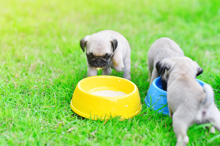 Cute puppy Pugs eating goat milk in dog bowl Stock Photo