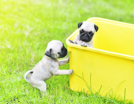 Cute puppy brown pugs playing in yellow bucket
