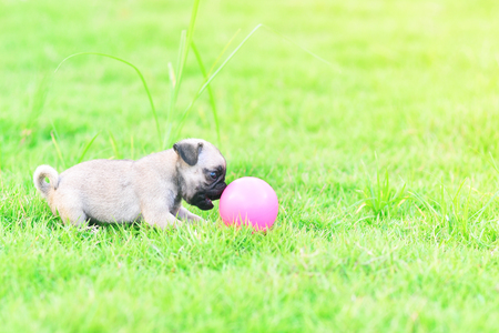 Cute puppy brown Pug playing with ball in garden