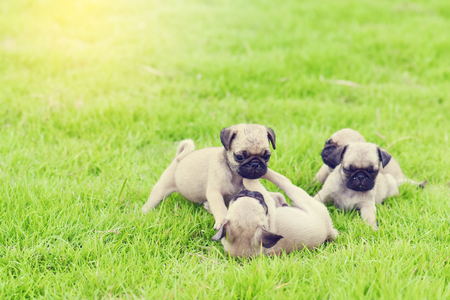 Cute puppy brown Pugs playing together in green lawn Stock Photo