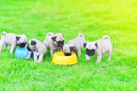 Cute puppies Pug eating feed in dog bowl