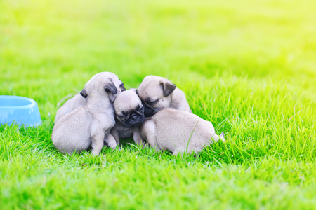Cute puppies Pug sleeping together in green lawn after eat feed Imagens