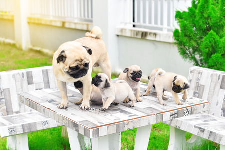 Cute puppies Pug playing with their mother on marble table