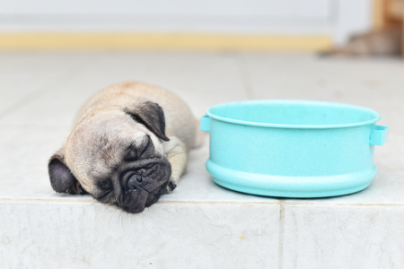 Cute puppy Pug sleeping alone in front of house after eat feed