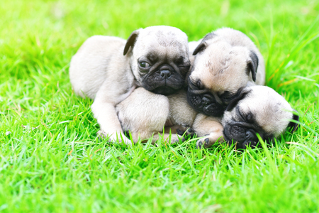 Cute puppies Pug sleeping together in green lawn