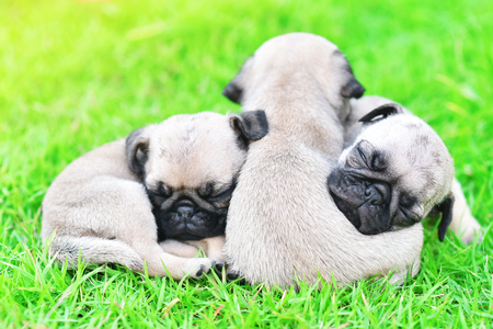 Cute puppies Pug sleeping together in green lawn after eat feed Stock Photo