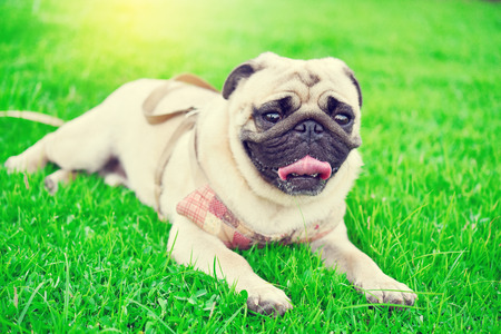 Cute brown Pug playing alone in garden