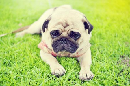 Cute brown Pug feeling sad in garden
