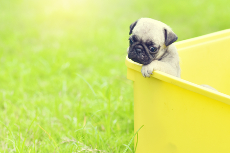 Cute puppy brown Pugs feeling sad in yellow bucket
