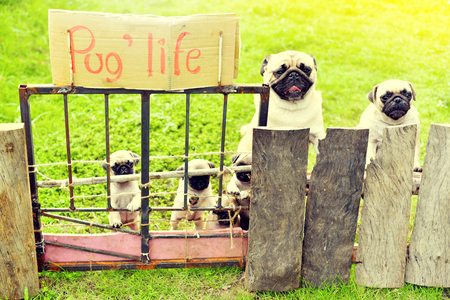 Cute puppies Pug with their mother and father holding fence in garden