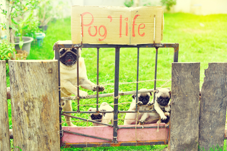 Cute puppies Pug with their mother holding fence in garden