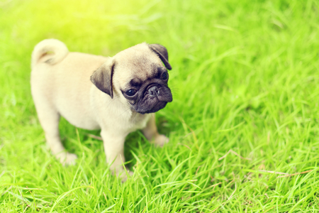 Cute puppy brown Pug playing alone in garden