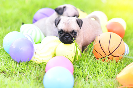 Cute puppy brown Pug with colorful ball in green lawn Banque d'images